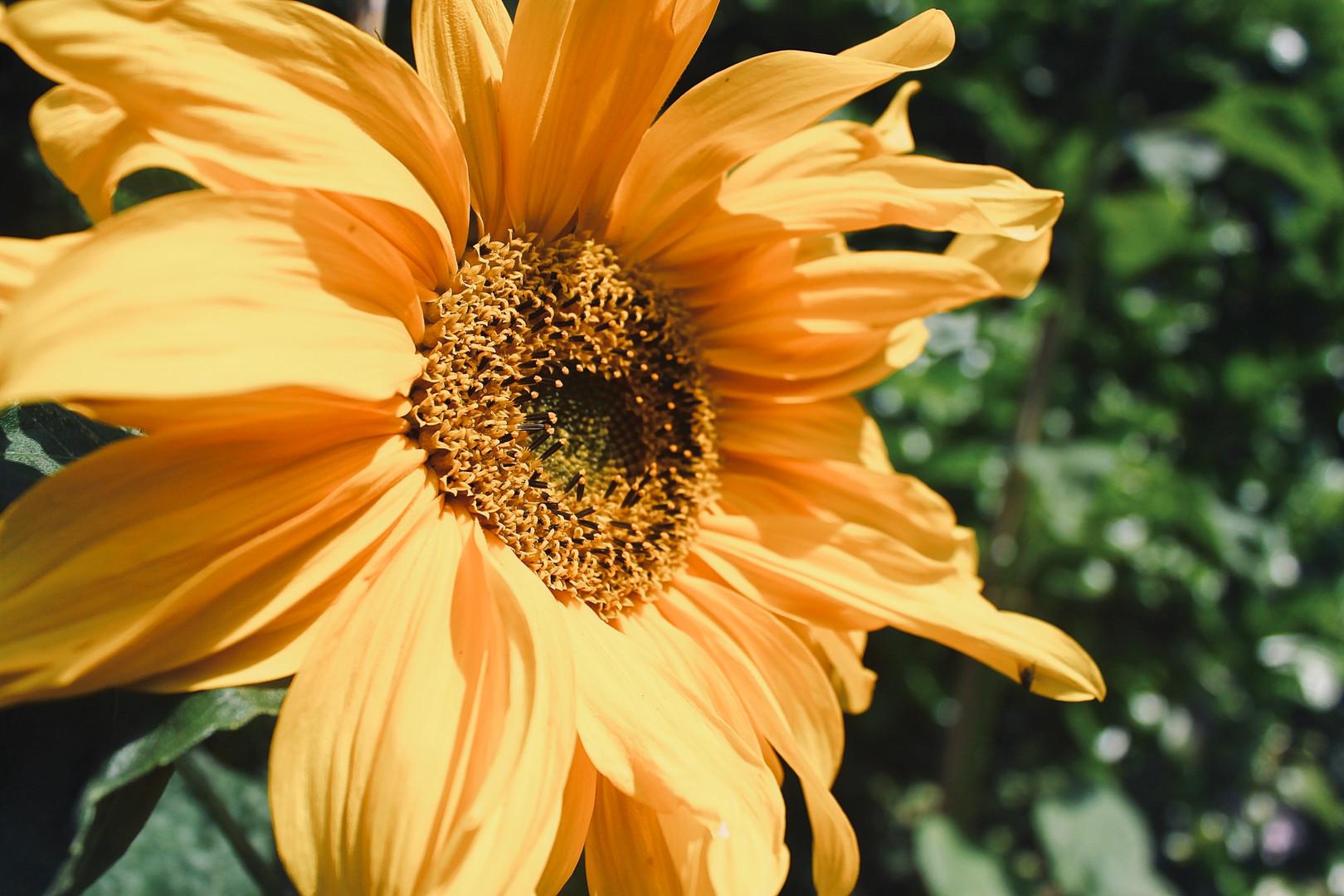 Sunflower Shot