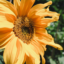 sunflower-shot_20572068294_o.jpg