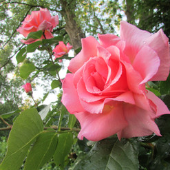 enchanting-rose_9691411191_o.jpg