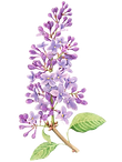 FAVPNG_lilac-flower-drawing-tattoo-water