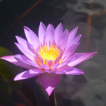 water-lily_8444915971_o.jpg
