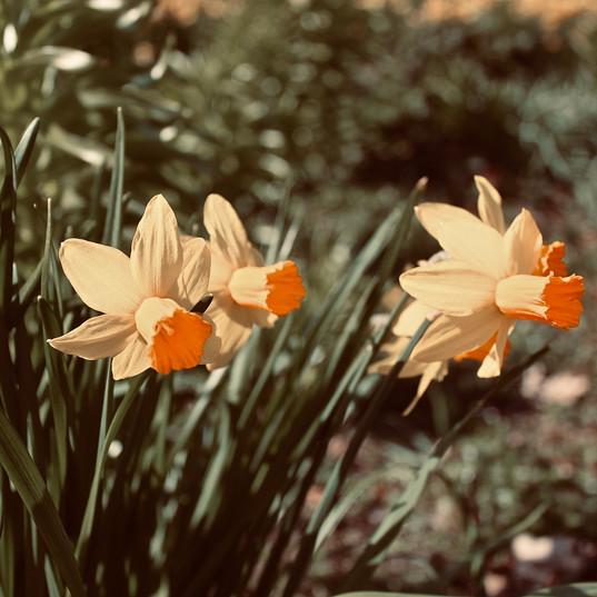pretty-daffodils_18617542041_o.jpg