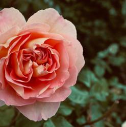 splendid-rose_21234556508_o.jpg