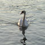swan_8705239082_o.jpg