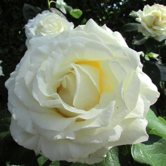 white-rose_9734212349_o.jpg
