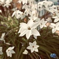 pristine-petals_18562363834_o.jpg