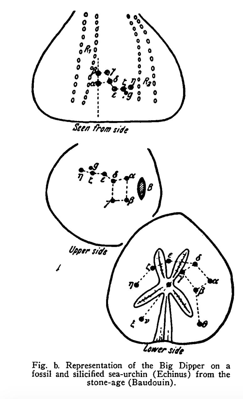 Figure 5 – Echinus Big Dipper specimen (Makemson, 1954, p163-171)