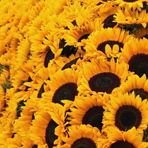 sunflower-display_14760596299_o.jpg