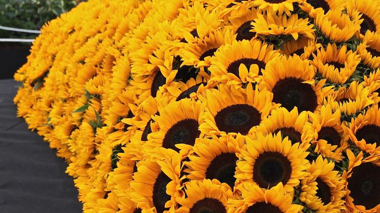 sunflower-display_14760596299_o.jpg