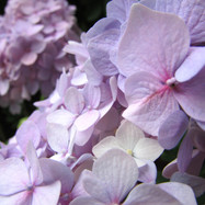 close-up-hydrangea_9839015114_o.jpg