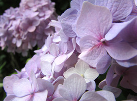 Close-Up Hydrangea
