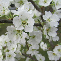 first-blossoms_9214740300_o.jpg