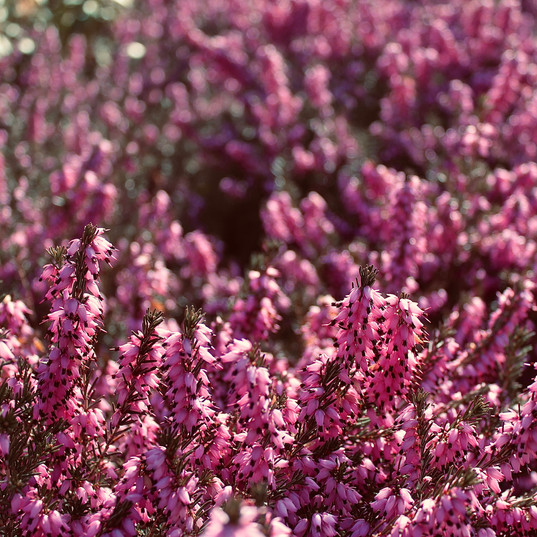 pink-beauty_18278127363_o.jpg