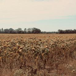 sunflower-field_23186263386_o.jpg