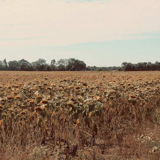sunflower-field_23186263386_o.jpg