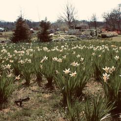 daffodil-meadow_18781817466_o.jpg