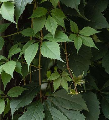 beautiful ivy greenery