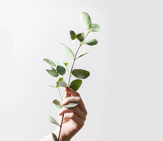 White hand holding a eucalyptus branch
