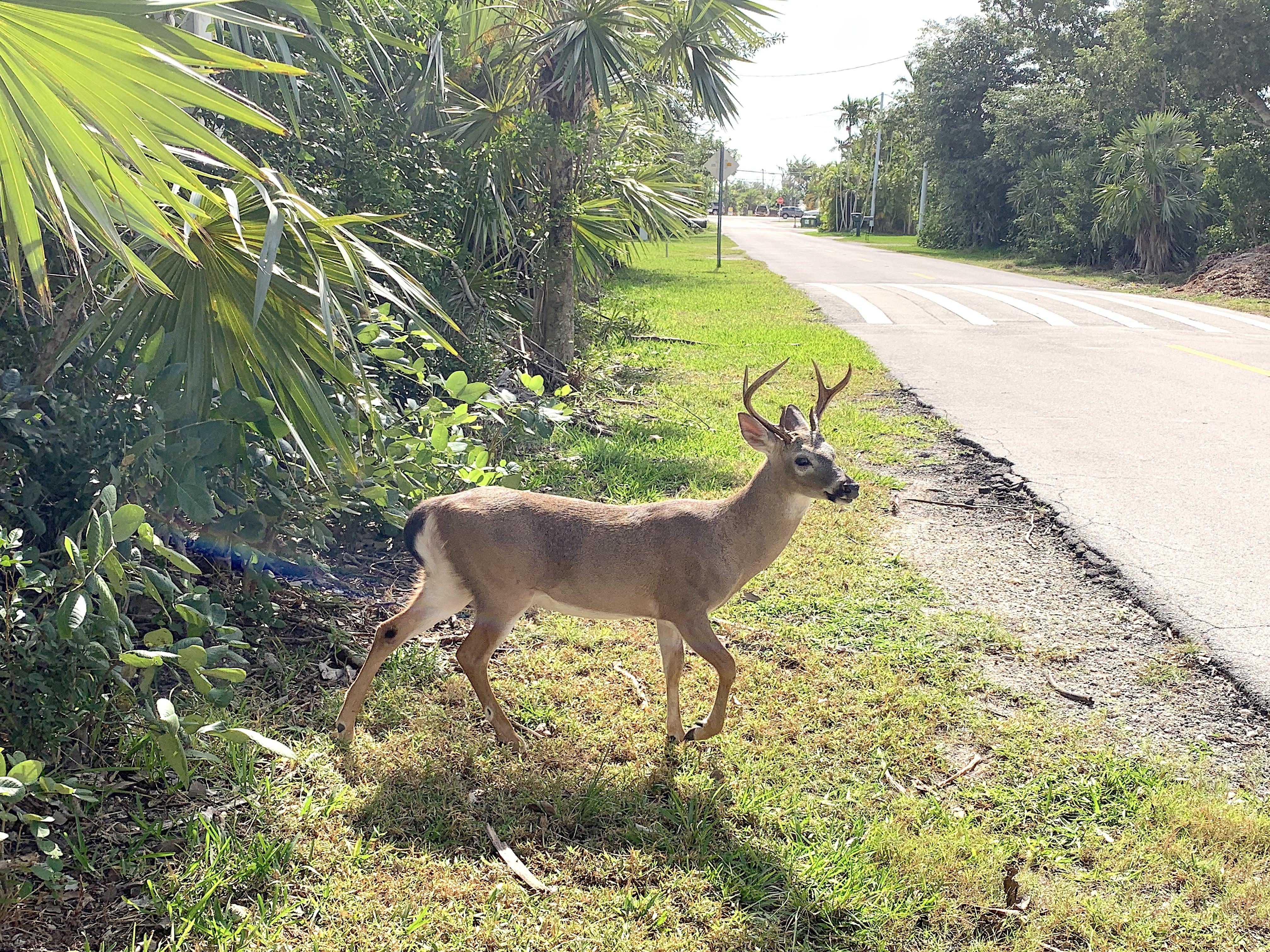 Key Deer Crossing