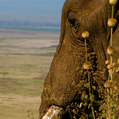 Elephant Viewing Ngorongoro