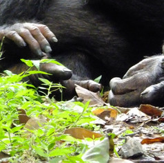 Chimpanzee Hands Mahale Mts