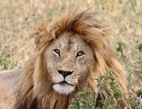 Male Lion.jpg