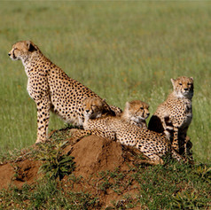 Mama Cheetah with Cubs