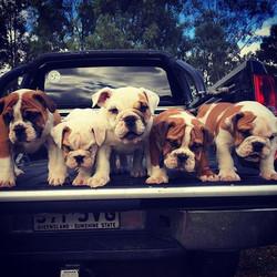 Larfabull and Nahrilibullys puppies
