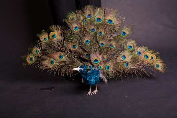 Peacock Marionette