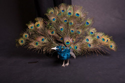 Peacock Marionette