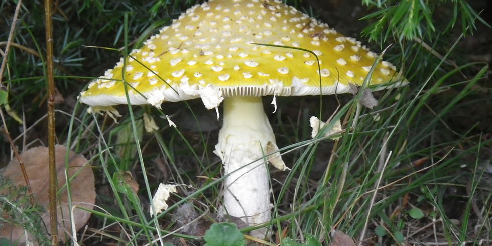 Identification of Amanita