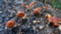 Leratiomyces ceres growing on woodchips.