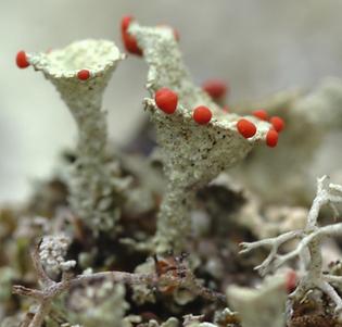 fungi lichen