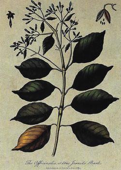 16. C. officinalis 1801. Az igazi jezsui