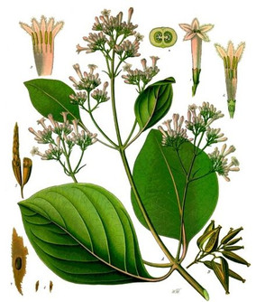 19. Cinchona_pubescens_-_Köhler–s_Medizi