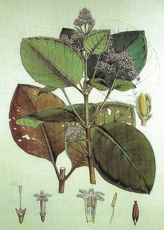 18. C. succirubra(pubescens) Howard 1802