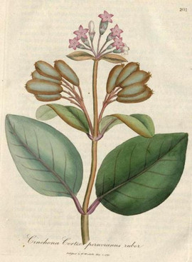 15. 1793 Cinchona-cortex-peruvianus-rube