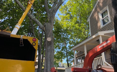 Removing a Oak Tree
