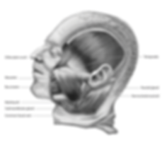 superficial muscles of face posterior vi