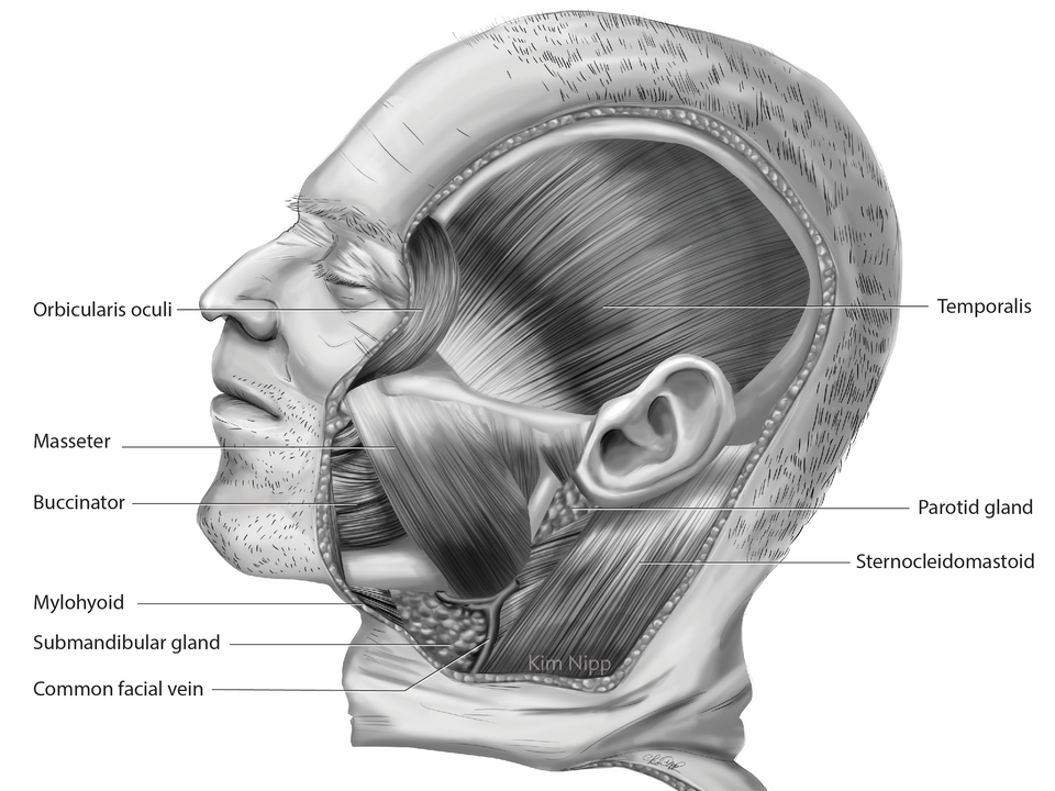 Great Muscles of the Face