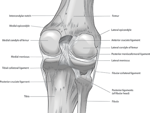 Ligaments of Posterior Knee