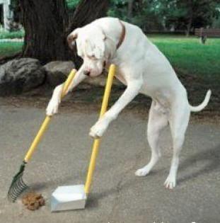 dog picking up poop