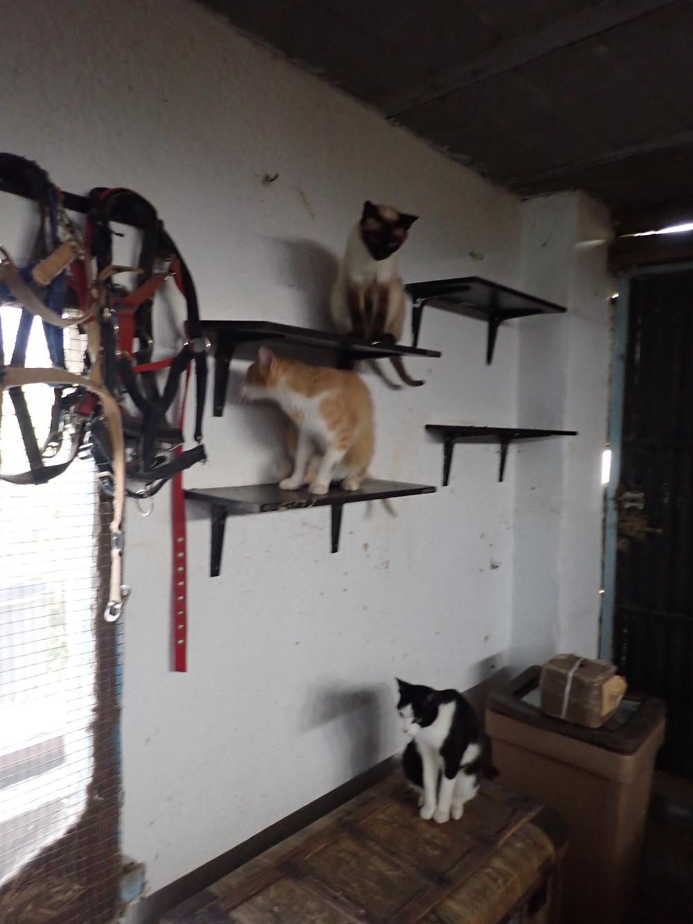 Shelves inside the stable block , a cat on each shelf