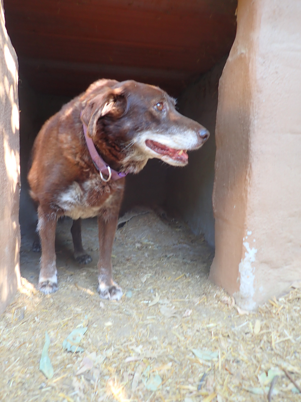 A brown dog in her kennel doorway