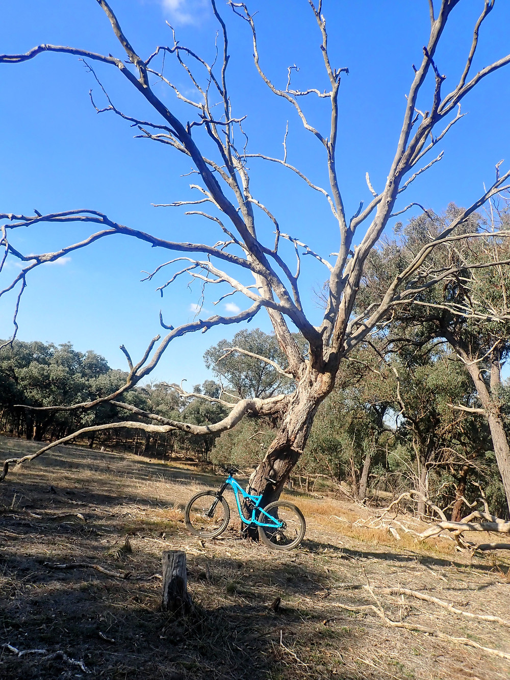 My bike Stumpy, leaning against a spooky dead tree, at the point I later camped