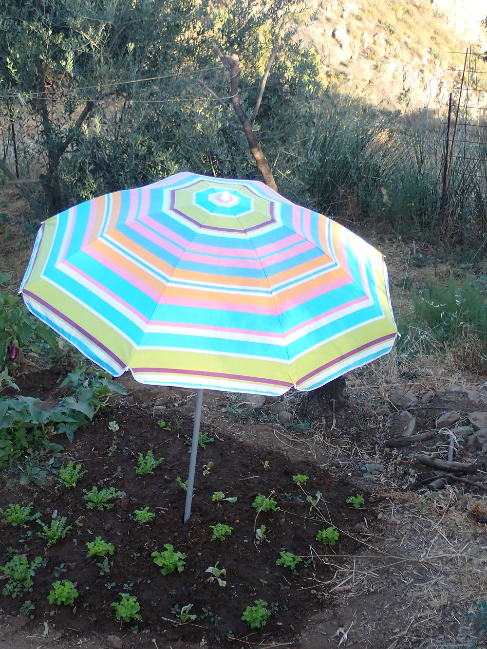 Some lettuces growing, shielded from the sun with an umbrella