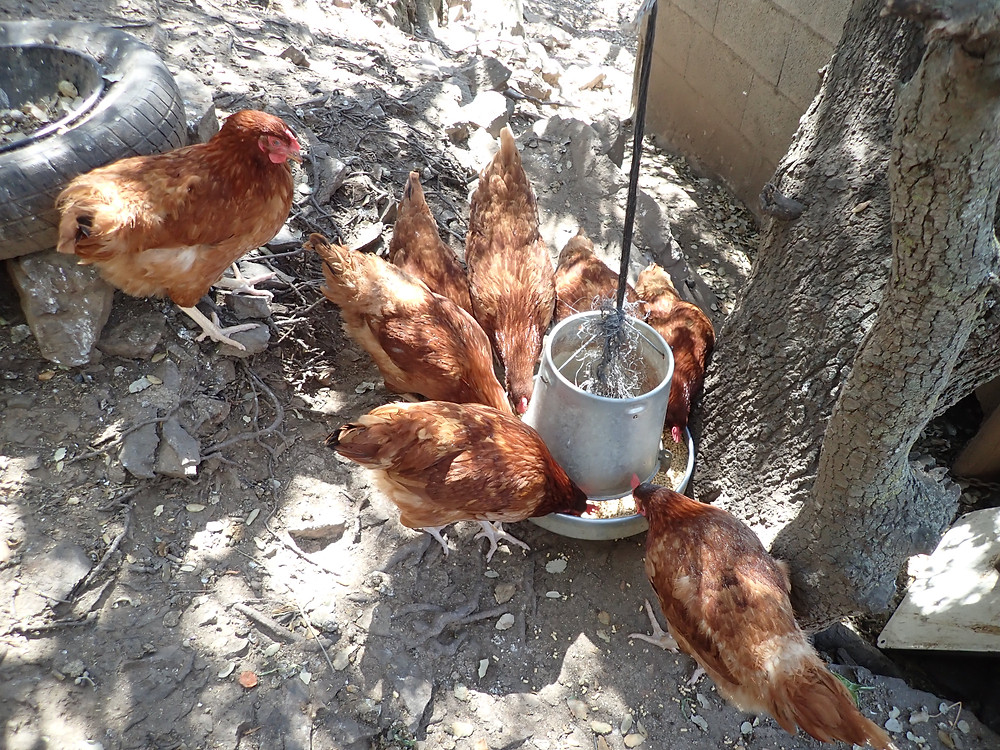 8 brown chickens feeding