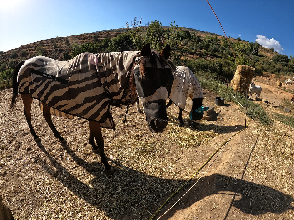 Two horses, with fly rugs and hoods on