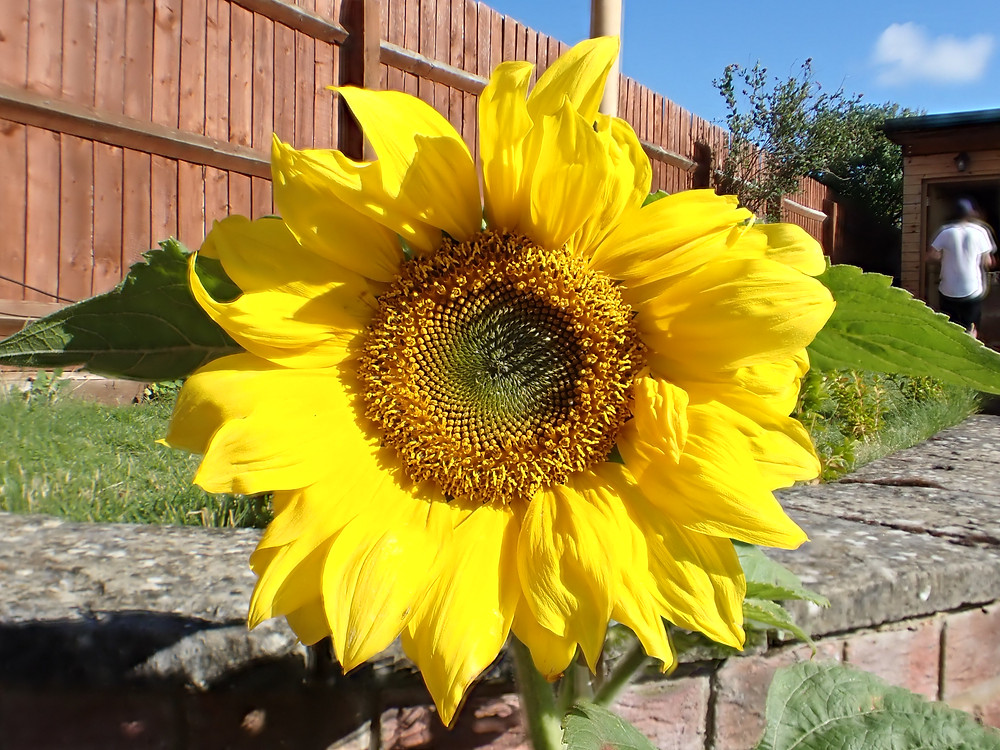 A photo of a large yellow sunflower