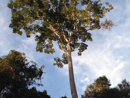 The response of the Amazon forest to elevated CO2 could depend on soil P uptake by plants